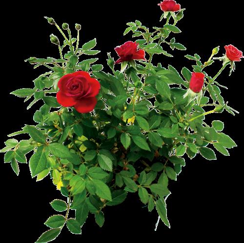 Нажмите на эту картинку, чтобы прочесть авторский Очерк *Цветущие Розы в Долинах...