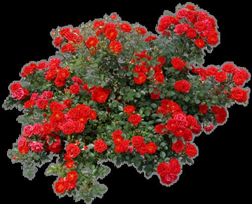 Цветущие Розы в Долинах...