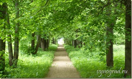 На этой авторской фотографии - Прекрасная зелёная аллея в Усадьбе Берново...