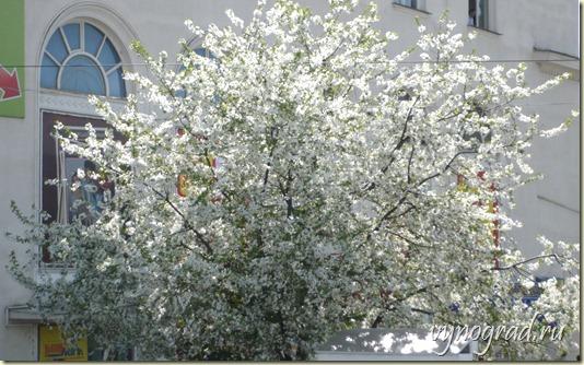 На этом фото показано, как в апреле в Сочи всё начинает расцветать... Нажав на фотографию, Вы можете вернуться в начало Очерка *Город Курорт Сочи* - из цикла *Путешествие по России...