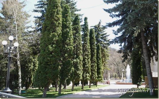 На этом фото - стройные Сочинские кипарисы...