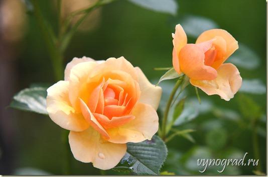 Нажав на фото, пройдите по ссылке и читайте Очерк *Спасибо за Розы!..