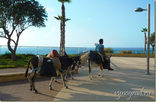 На фото показано, как симпатичные ослики дружно прогуливаются по набережной...