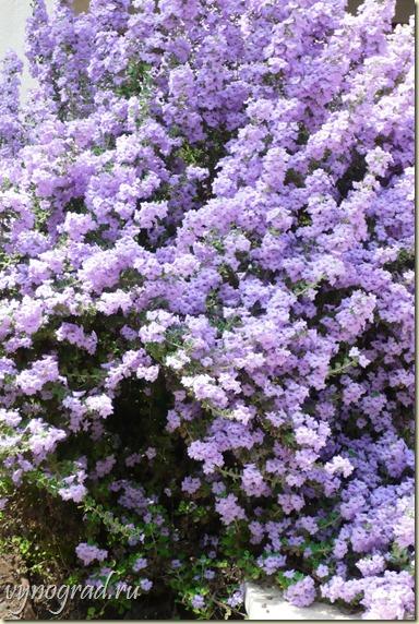 На фото - цветущие в сентябре деревья на улицах Нетании...