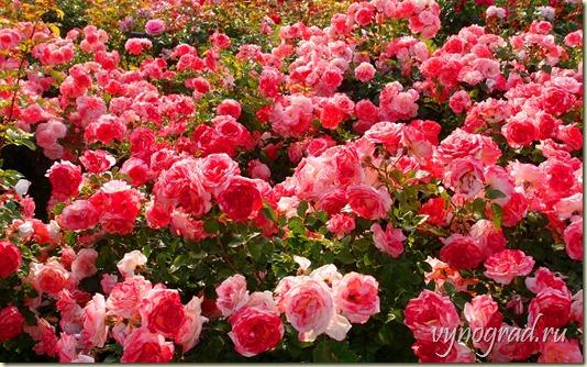 На снимке - Прекрасные розы со всего мира, которые радуют нас своей красотой и благоуханием в Парке Роз Иерусалима...  Ссылка этого фото открывает *Историю про улитку и Розовый Куст* Ганса Христиана Андерсена...