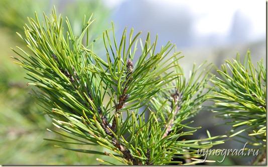 Фото сосновых ветвей, ведь древний Иерусалим весь был окружён сосновыми лесами...